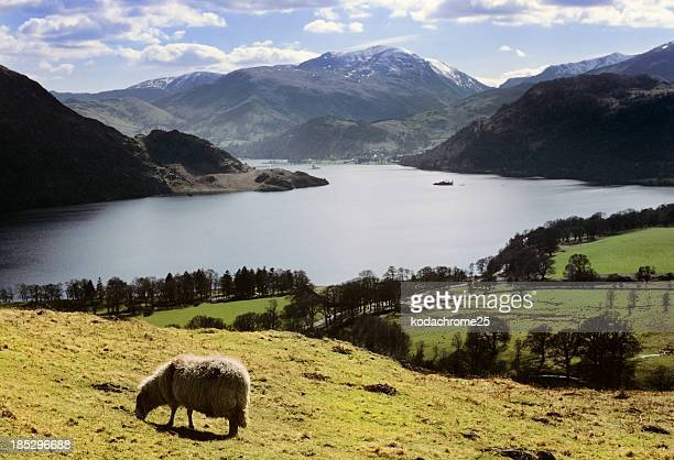 Scenic view of a sheep in front of a lake and mountains