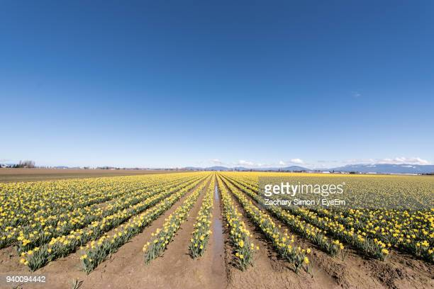 scenic view of agricultural field against clear blue sky - field of daffodils stock pictures, royalty-free photos & images
