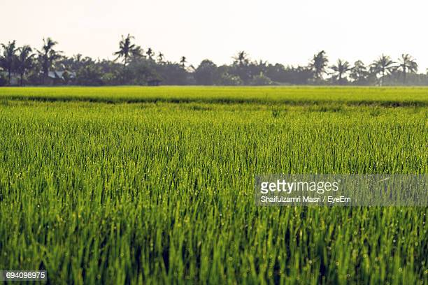 scenic view of agricultural field against clear sky - shaifulzamri stock pictures, royalty-free photos & images