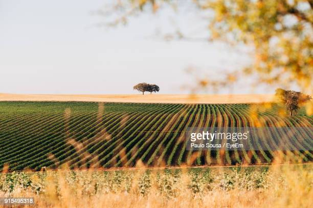 scenic view of agricultural field against clear sky - portugal imagens e fotografias de stock