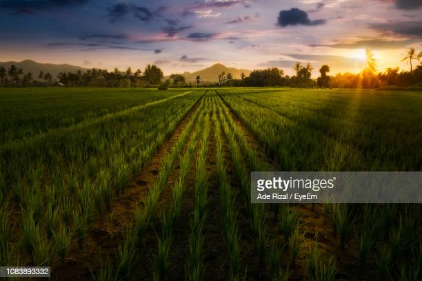 scenic view of agricultural field against sky during sunset - ade rizal stock photos and pictures