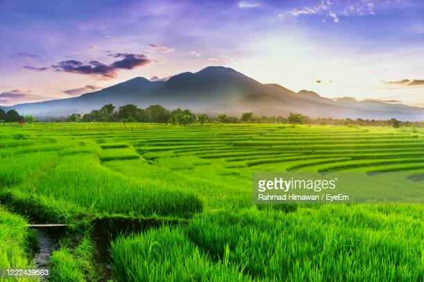 scenic view of agricultural field against sky during sunset - rahmad himawan stock pictures, royalty-free photos & images