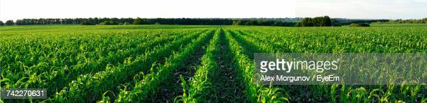 scenic view of agricultural field against sky - corn field stock photos and pictures