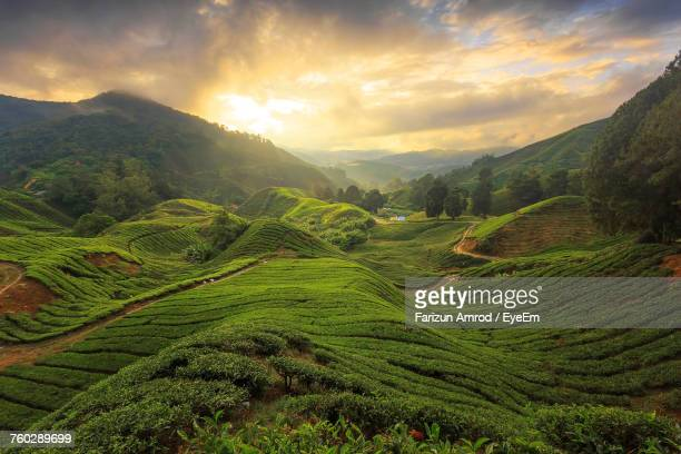 scenic view of agricultural field against sky - camellia sinensis stock photos and pictures