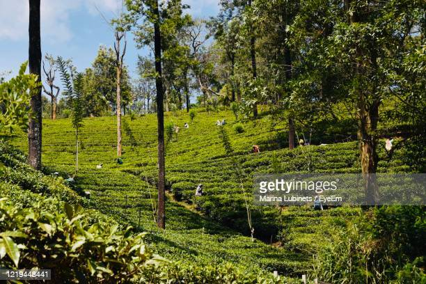 scenic view of agricultural field - tea crop stock pictures, royalty-free photos & images