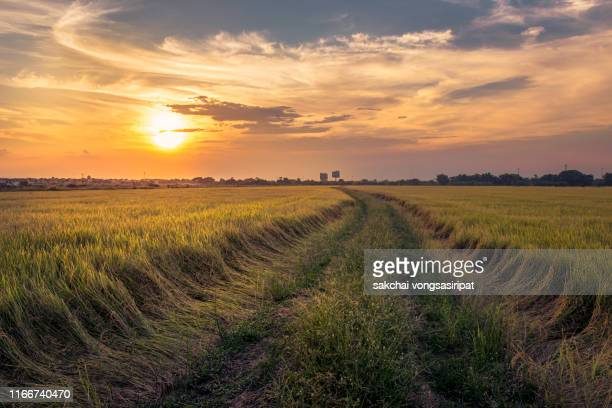 scenic view of agricultural rice fields against sky during sunset,thailand - organic farm stock pictures, royalty-free photos & images