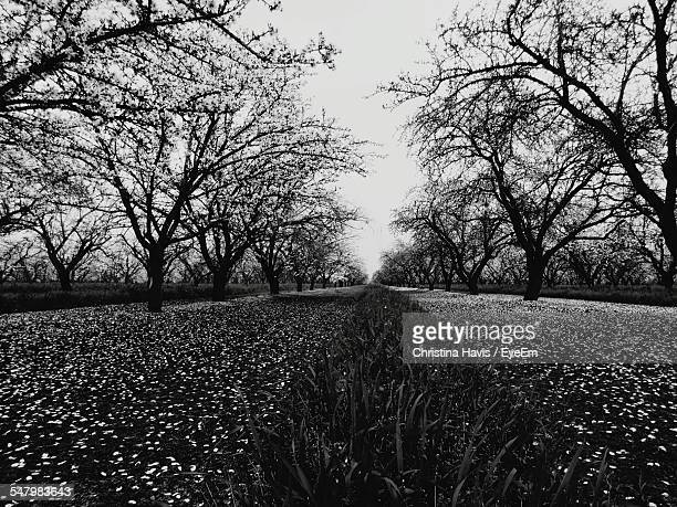 scenic view of almond orchard against sky - almond orchard stock photos and pictures