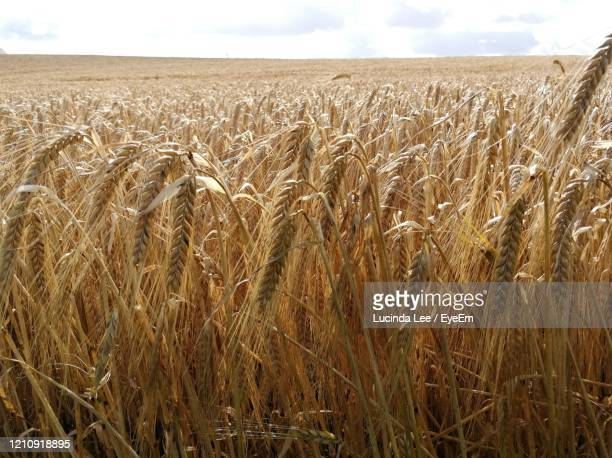 scenic view of barley field against sky - lucinda lee stock pictures, royalty-free photos & images