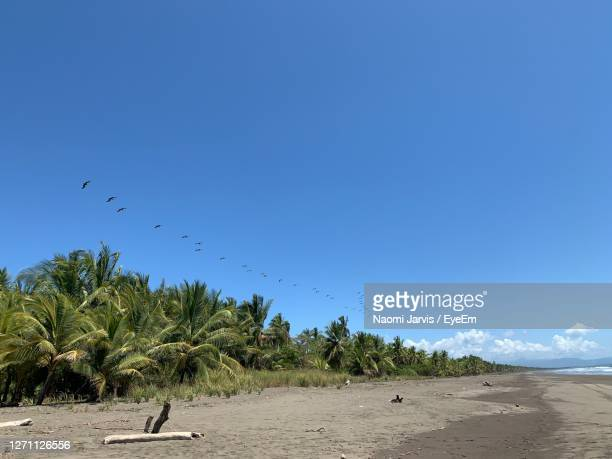 scenic view of beach against clear blue sky.  pelicans in flight over the palm trees. - naomi jarvis stock pictures, royalty-free photos & images
