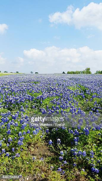 Scenic View Of Bluebonnet Flowers Field Against Sky
