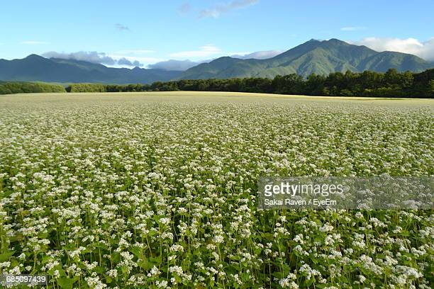 scenic view of buckwheat field against mountains - buckwheat stock pictures, royalty-free photos & images
