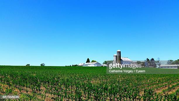 Scenic View Of Corn Field Against Clear Blue Sky