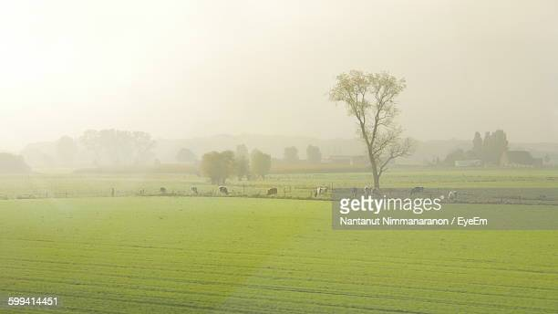 Scenic View Of Cows Grazing On Field Against Sky