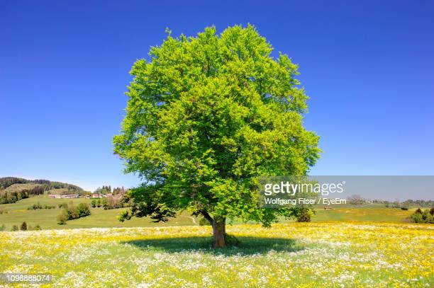 scenic view of field against clear blue sky - single tree stock pictures, royalty-free photos & images