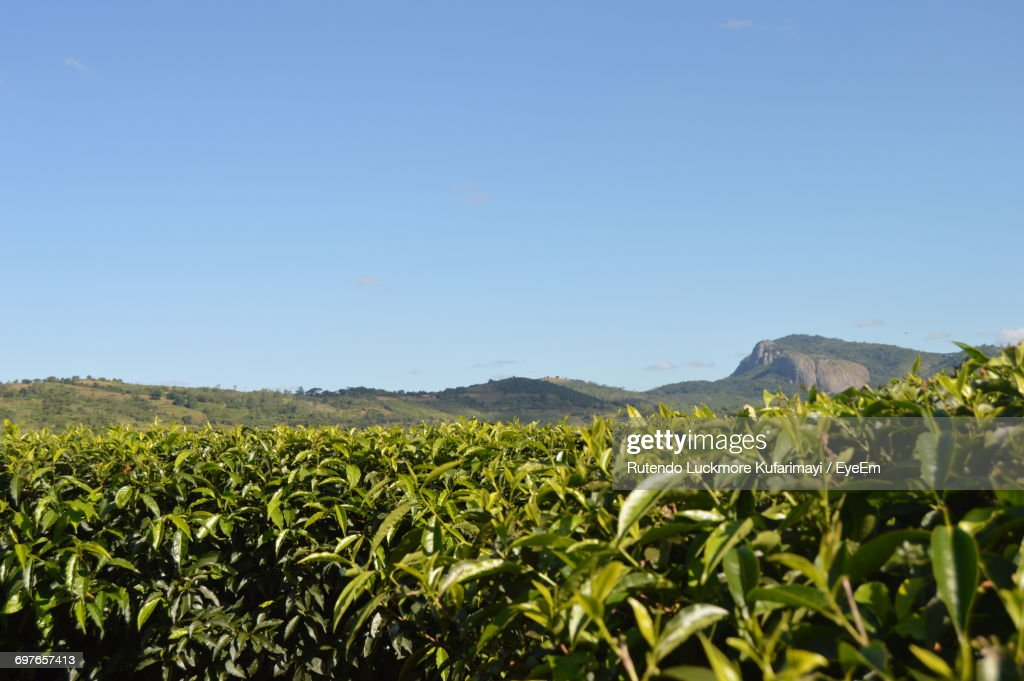 Scenic View Of Field Against Clear Sky : Stock Photo