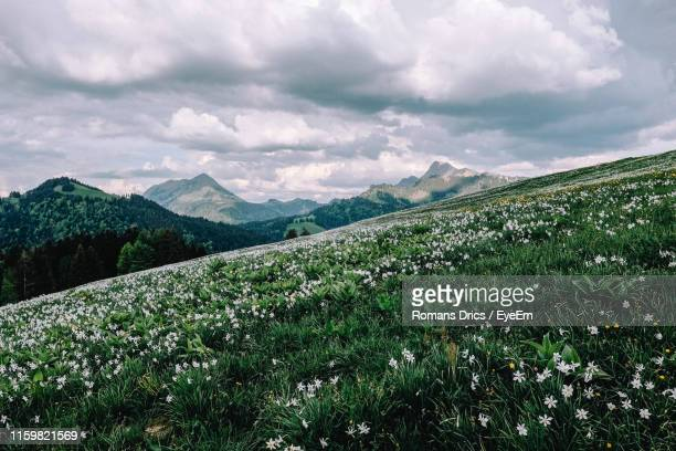 scenic view of field against sky - field of daffodils stock pictures, royalty-free photos & images