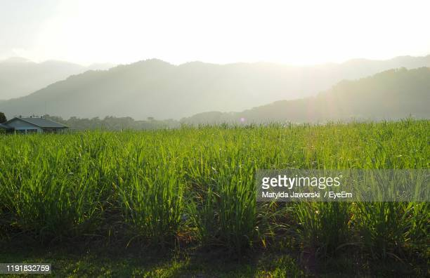 scenic view of field against sky - sugar cane stock pictures, royalty-free photos & images