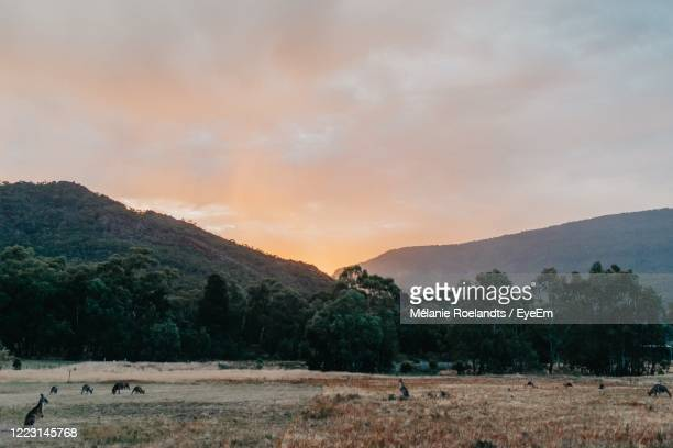 scenic view of field with kangaroos against sky during sunset - national park stock pictures, royalty-free photos & images