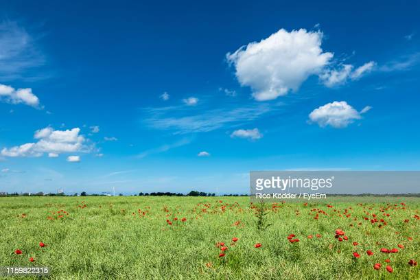 scenic view of flowering field against blue sky - rostock stock pictures, royalty-free photos & images