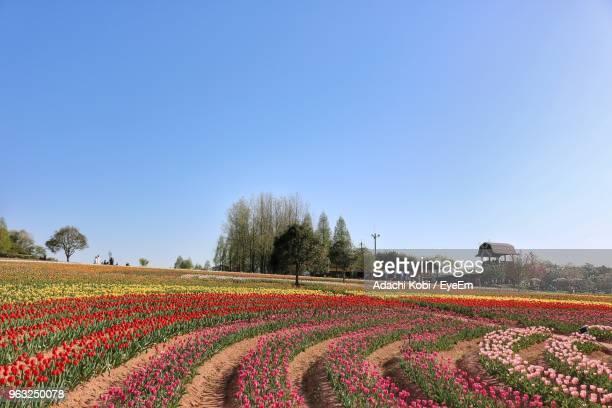 Scenic View Of Flowering Field Against Clear Blue Sky