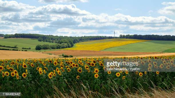 scenic view of flowering field against cloudy sky - nancy green stock pictures, royalty-free photos & images