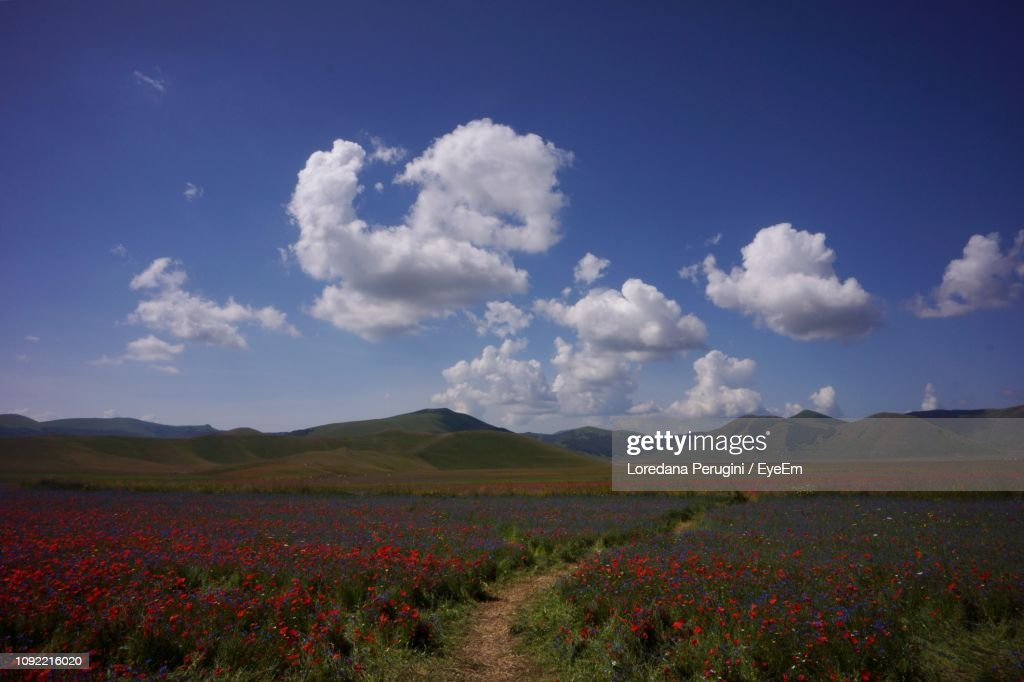 Scenic View Of Flowering Field Against Sky : ストックフォト