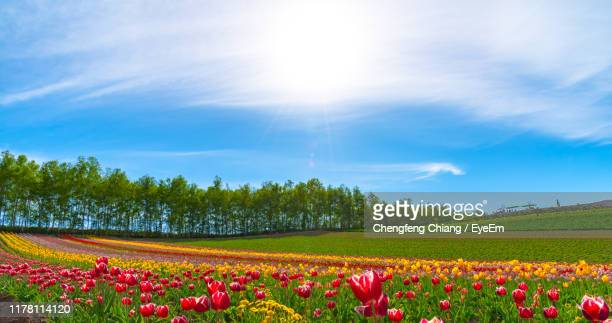 scenic view of flowering field against sky - biei town stock pictures, royalty-free photos & images