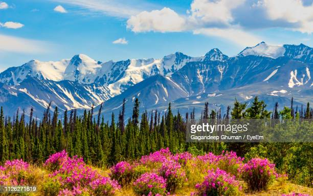 scenic view of flowering plants and mountains against sky - alaska stock pictures, royalty-free photos & images