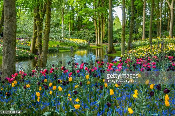 scenic view of flowering plants by lake - keukenhof gardens stock pictures, royalty-free photos & images