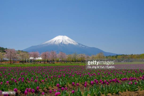 scenic view of flowering plants on field against clear sky - shizuoka stock photos and pictures