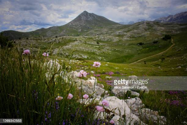 scenic view of flowering plants on field against mountains - グランサッソアンドラガ国立公園 ストックフォトと画像