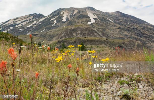 scenic view of flowering plants on field against mountains - washington state stock pictures, royalty-free photos & images