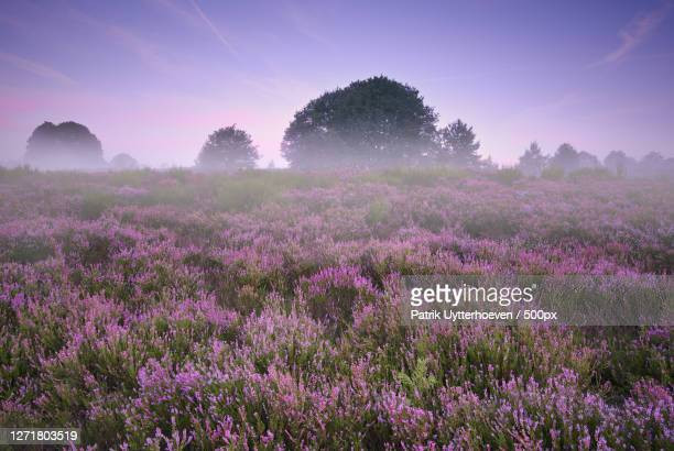 scenic view of flowering plants on field against sky, as, belgium - belgium stock pictures, royalty-free photos & images