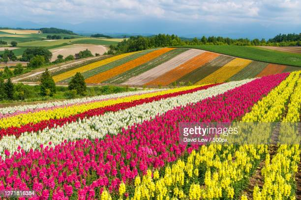 scenic view of flowering plants on field against sky, asahikawa, japan - images ストックフォトと画像