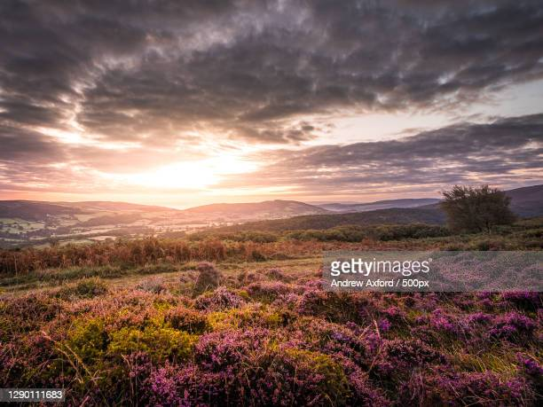 scenic view of flowering plants on field against sky during sunset,porlock,minehead,somerset,united kingdom,uk - ポーロック ストックフォトと画像