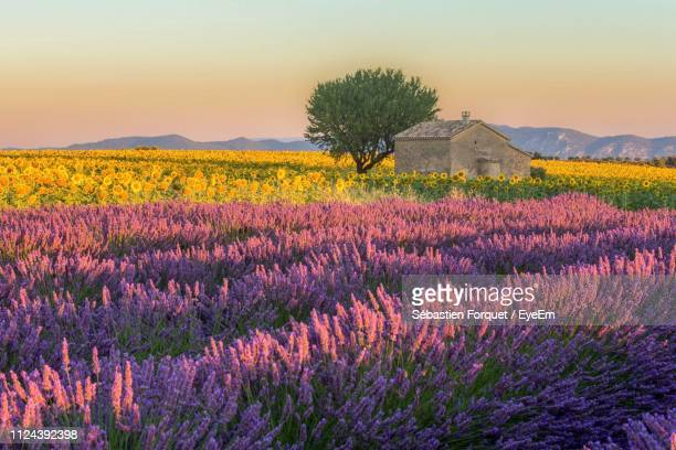 scenic view of flowering plants on field against sky during sunset - provence alpes cote d'azur stock pictures, royalty-free photos & images