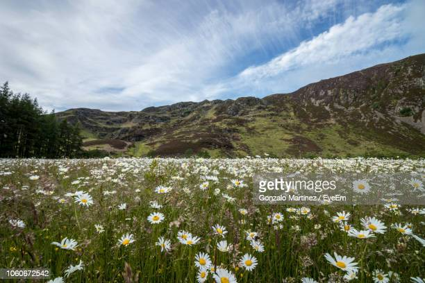 scenic view of flowering plants on field against sky - poppy field stock photos and pictures