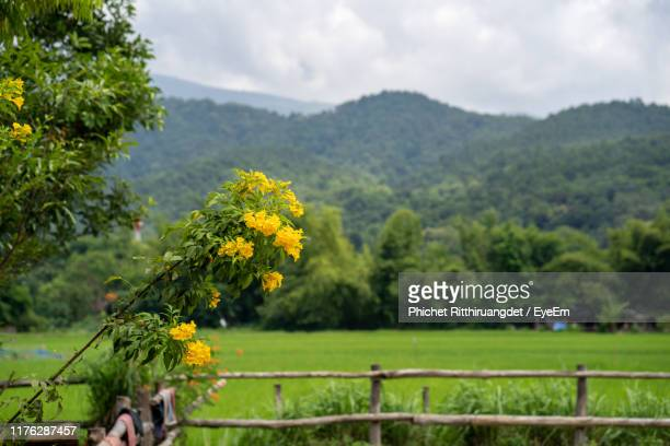 scenic view of flowering plants on field against sky - phichet ritthiruangdet stock photos and pictures