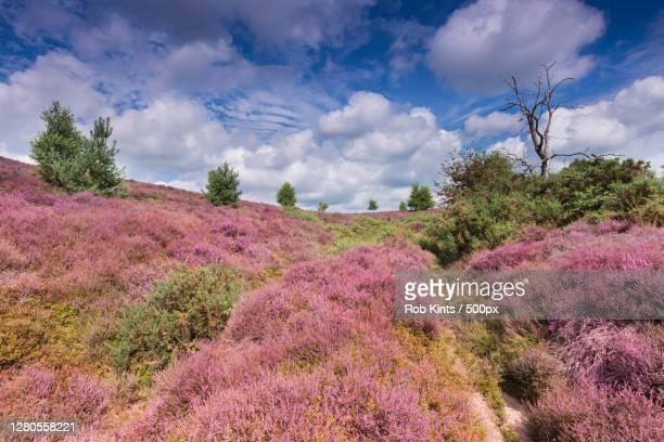 scenic view of flowering plants on field against sky,posbank,jm rheden,netherlands - arnhem stockfoto's en -beelden