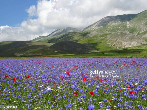 scenic view of flowering plants on field by mountains against sky - castelluccio stock photos and pictures