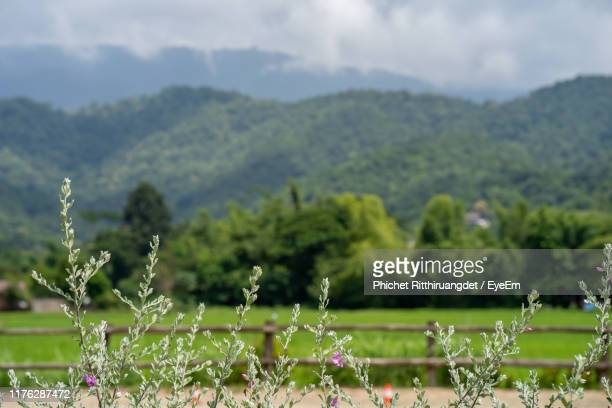 scenic view of flowering plants on land - phichet ritthiruangdet stock photos and pictures