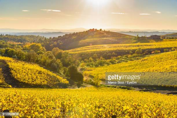 scenic view of flowers blooming on field against sky during sunset - siena italy stock photos and pictures