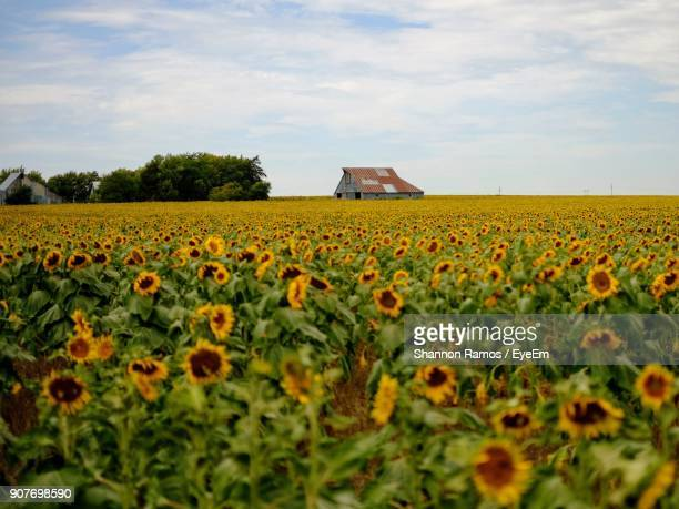 scenic view of flowers growing on field - nebraska stock photos and pictures