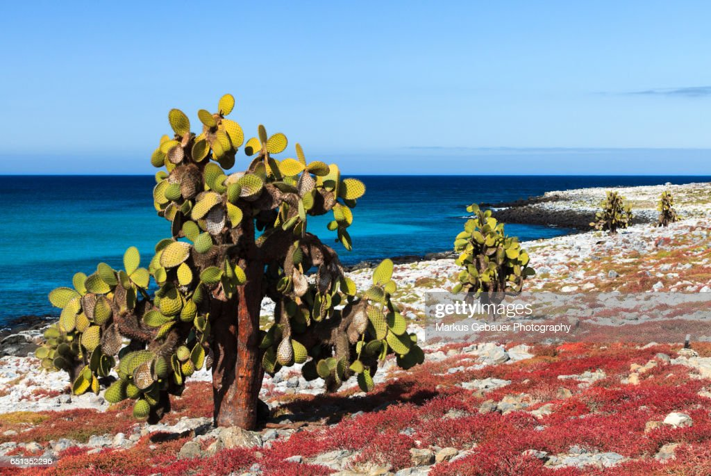 Scenic view of giant cactus infront of a sunny blue sky and the ocean on Santa Cruz Island, Galapagos Islands : Foto de stock