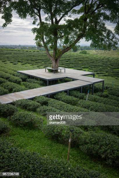 scenic view of green tea plantation valley - tea tree oil stock photos and pictures