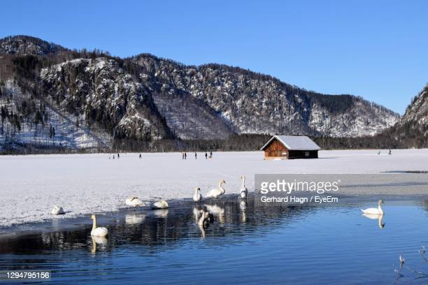 scenic view of lake with swans against sky during winter - gerhard hagn stock-fotos und bilder