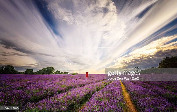 Scenic View Of Lavender Field Against Cloudy Sky