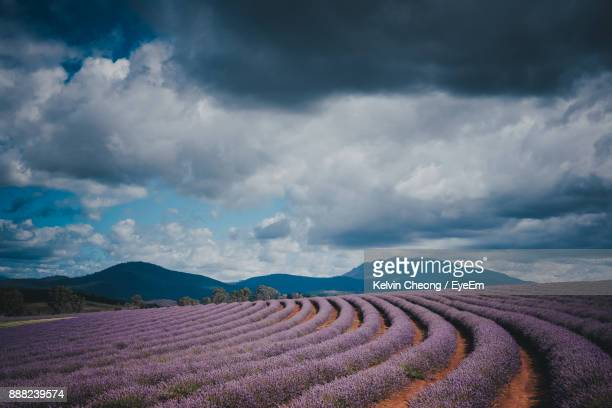 scenic view of lavender field against cloudy sky - launceston australia stock pictures, royalty-free photos & images
