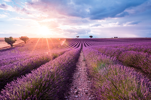 Scenic View Of Lavender Field Against Sky During Sunrise - gettyimageskorea
