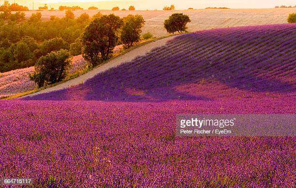 Scenic View Of Lavender Field